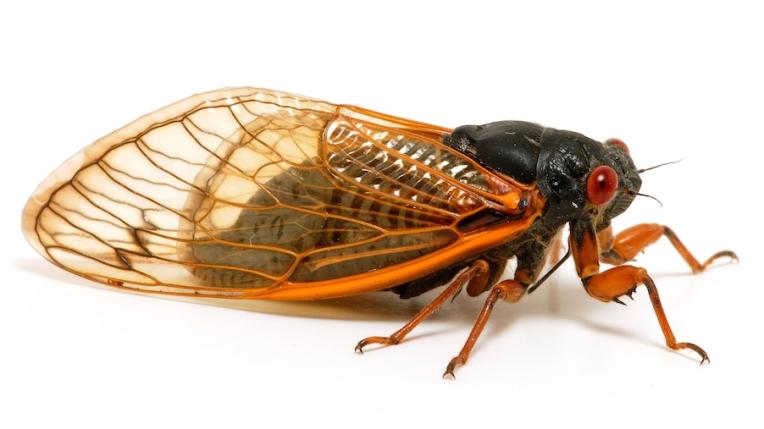 17-year-cicada_C2FS1539
